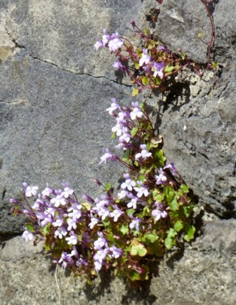derbyshire ladybower bluebells water dambusters barbrook 3 wildflowers 001 (271)