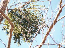 Mistletoe lives in the canopies of host trees
