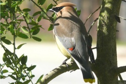 The Cedar Waxwing is known to be fond of  Mistletoe berries