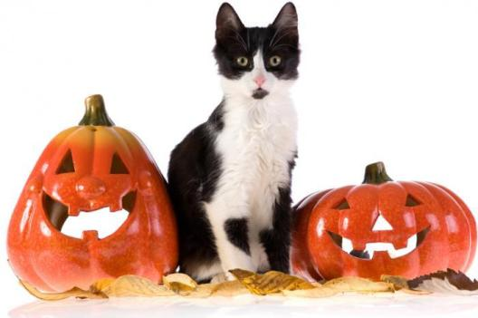 [A cat with two pumpkins]