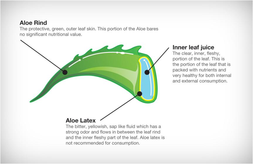 aloe-vera-leaf-section