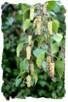 Male birch cones