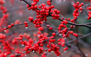 berry_macro_drops_red_1920x1200
