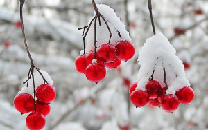 nature_winter_first_snow_red_berries_fruits_cranberry__r_1920x1200