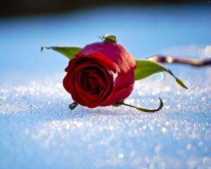 winter_snow_rose_bokeh______g_2500x2000