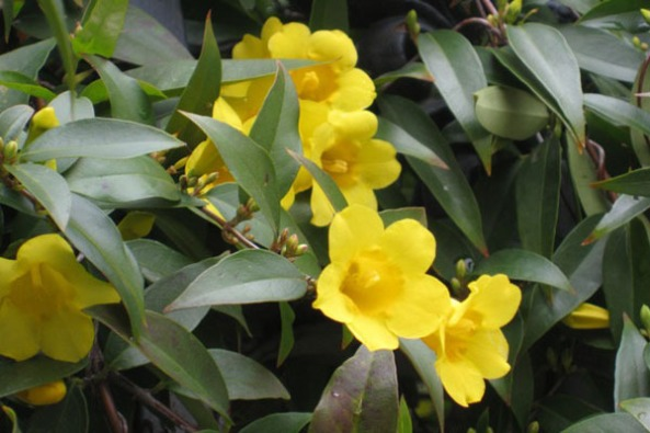 yellow jessamine flower