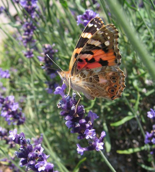L-angustifolia-painted-lady-butterfly-01