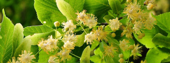 Linden-tree-Lipa