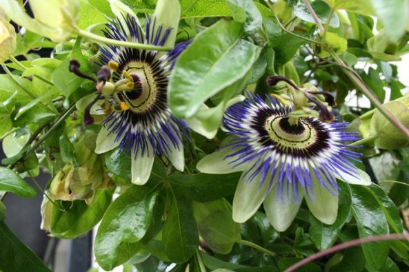 Passion_flower_blooms