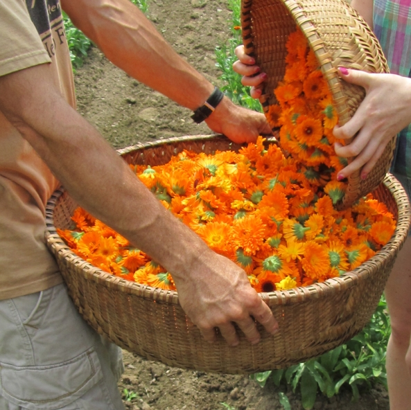 sustainable harvest calendula