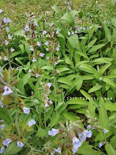 Garden sage flowering