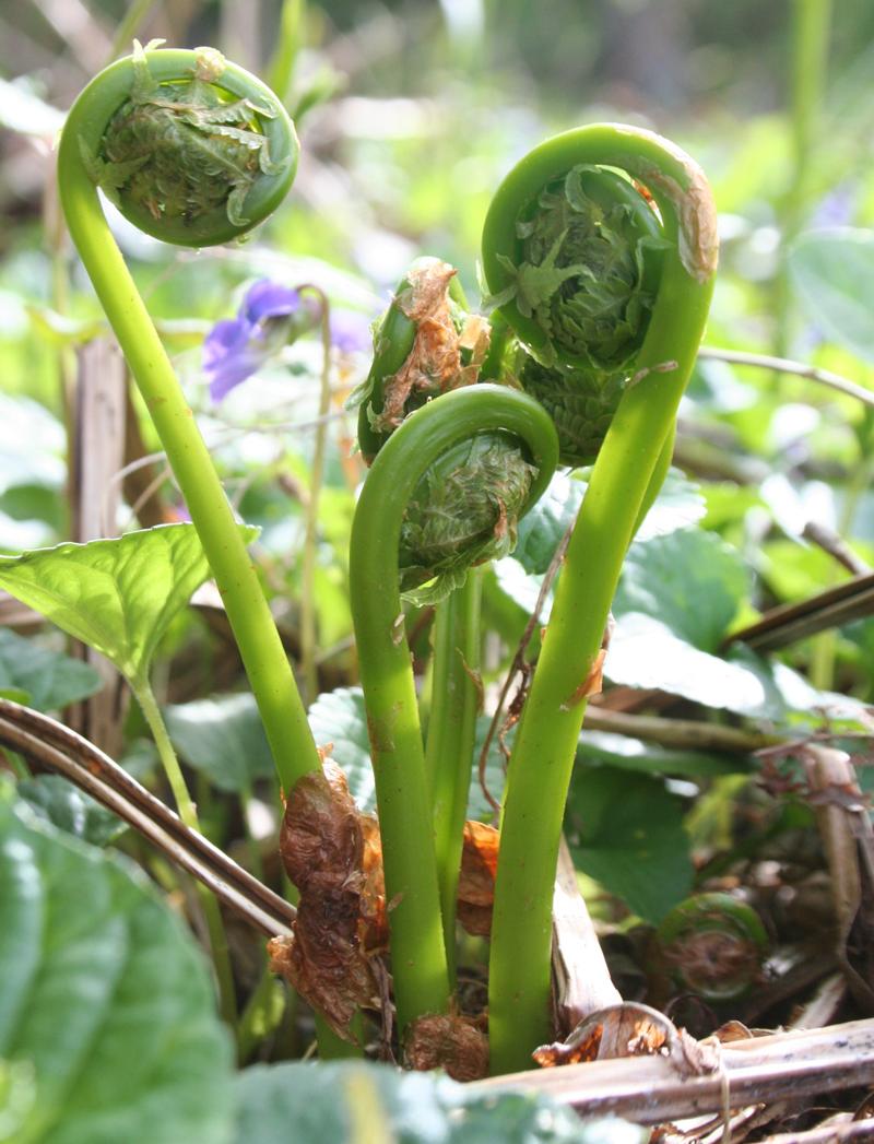 sustainable harvesting fiddlehead ferns