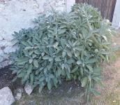Sage_plant_in_Castel_Beseno