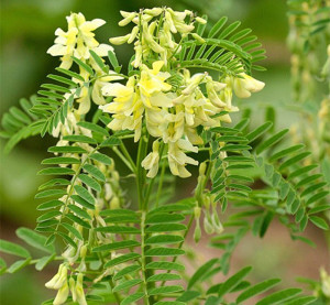 astragalus-roots-radix-astragali-huangqi