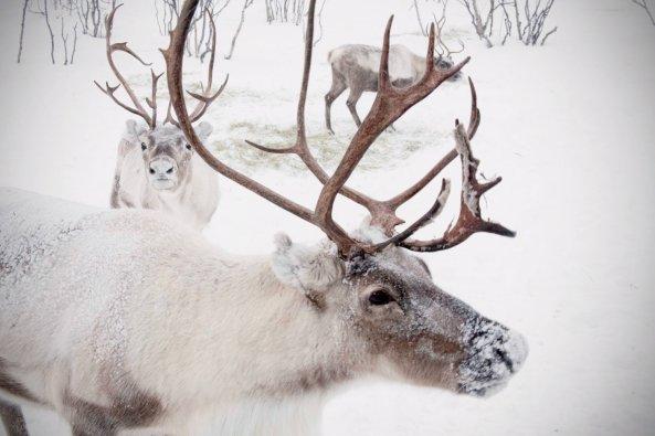 reindeer100-001